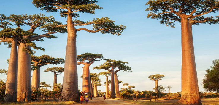 Baobabs-Affenbrotbaum-Afrika-Natur-4-1170x500px