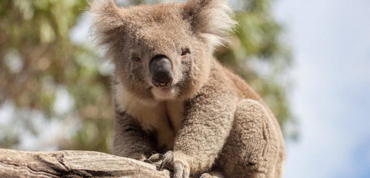 Australien Koala
