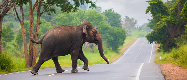 Elephant-in-Sri-Lanka-725x310px