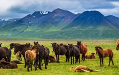 Herd-of-horses-in-the-mountains-in-Iceland-725x310px