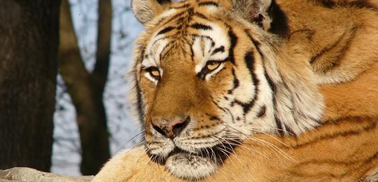Indien-Tiger-Natur-1-1170x500px