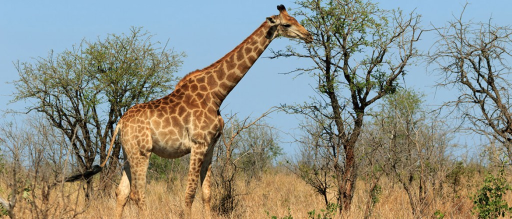 Krüger-Nationalpark-Giraffe-Südafrika-Natur-2-1170x500px
