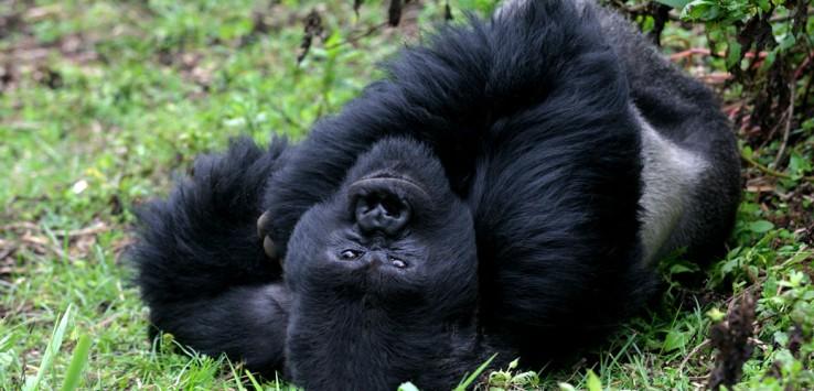 Virunga-Berge-Uganda-Natur-Afrika-Gorilla-10-1170x500px
