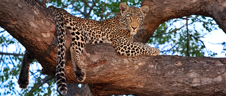 african-leopard-725x310px