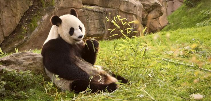 chengdu-china-panda animal natur asien