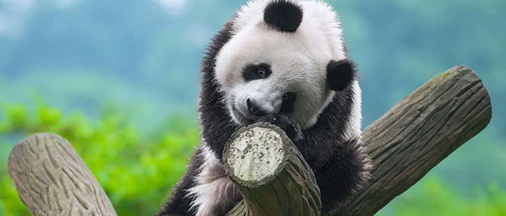 panda-2-725x310px