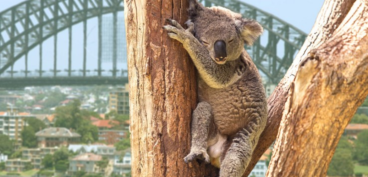 sydney australien koala